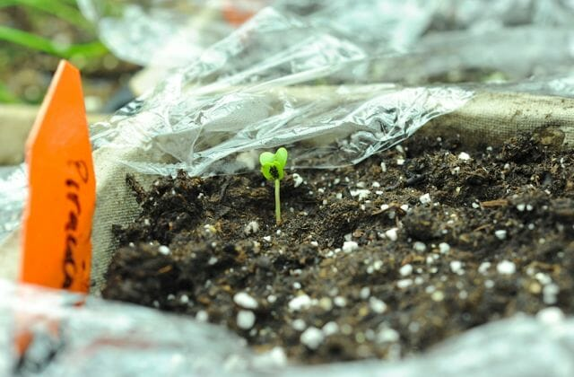 Broccoli seedling just up in seed flat under lights.