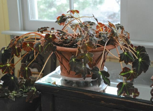 rhizomatous begonia before trimming
