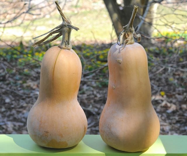 'Butternut' squash after storing till spring