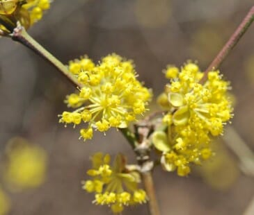 Cornus mas flower detail