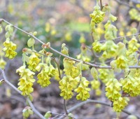 beating forsythia to spring's flowering-shrub punch: a slideshow of earliest-blooming stars
