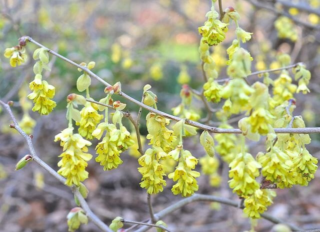 beating forsythia to spring's floweringshrub punch a slideshow, Natural flower