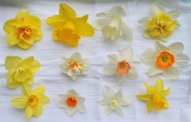 Varieties of Narcissus from the garden