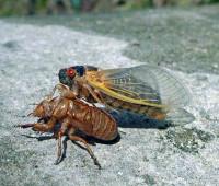 Periodical cicadas, photo copyright U.S. Forest Service/ Bob Rabaglia