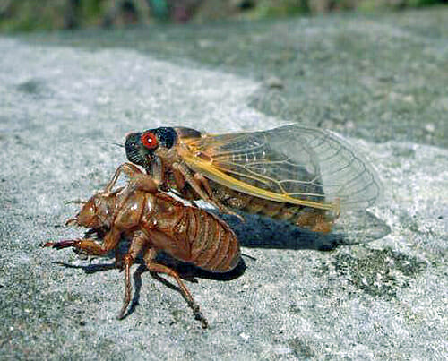 fruit fly lifespan are tomatoes vegetables or fruits