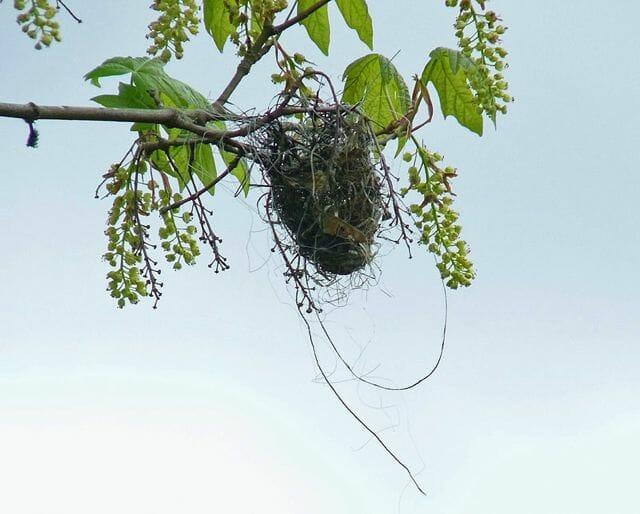 Bullock's Oriole nest © Mike Hamilton