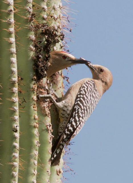 Gila woodpeckers nesting in cactus