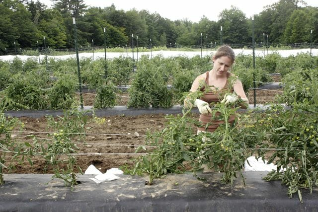 Grow Healthy Tomatoes Staking And Pruning A Way To Garden