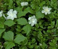 Trillium grandiflorum 'Flore Pleno', Athyrium, Polygonatum lighter 05 10 2013