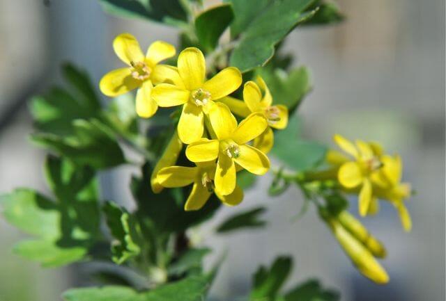 Flower detail of Ribes odoratum or aureum