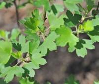 Leaf detail of Ribes odoratum or aureum