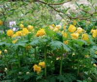 stylophorum-diphyllum-clump