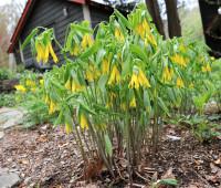 uvularia-grandiflora_0