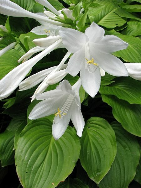 6 lessons about hosta with tony avent a way to garden. Black Bedroom Furniture Sets. Home Design Ideas