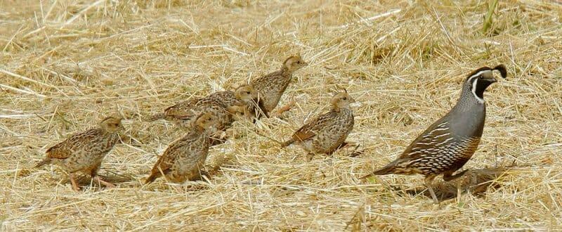 California quail family by Tom Grey