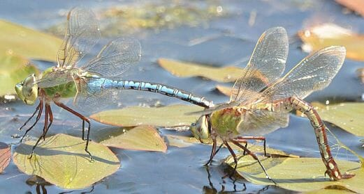 Common green darner pair, by Dennis Paulson