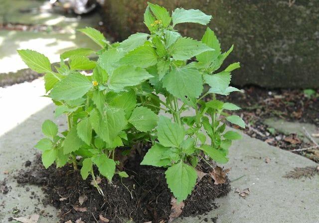 Galinsoga weed uprooted