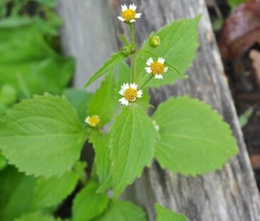 Galinsoga ciliata, or Galinsoga quadriradiata, a weed