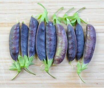 'Sugar Magnolia' purple snap pea pods