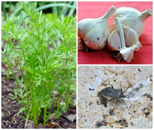 garlic, carrots, squash bug