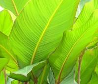 canna-grande-or-musafolia-jpg
