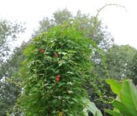 cardinal-climber-august-jpg