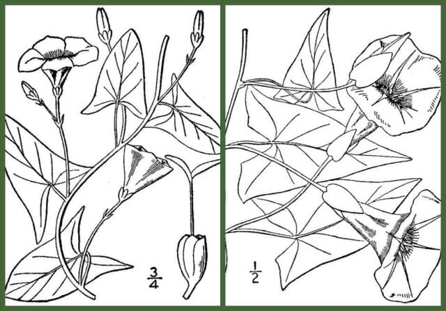 Field bindweed, left versus hedge bindweed