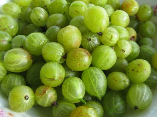 Gooseberries, copyright Beekman 1802