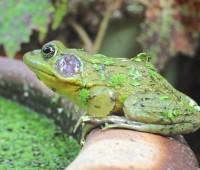 male-green-frog-jpg