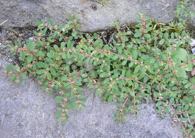 Spotted spurge, or Euphorbia maculata, in cracks in pavement