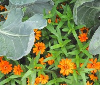 zinnias-and-brussels-sprouts-jpg