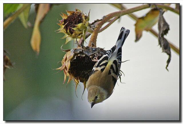 Goldfinch on a sunflower seedhead, photo copyright Roger Lynn