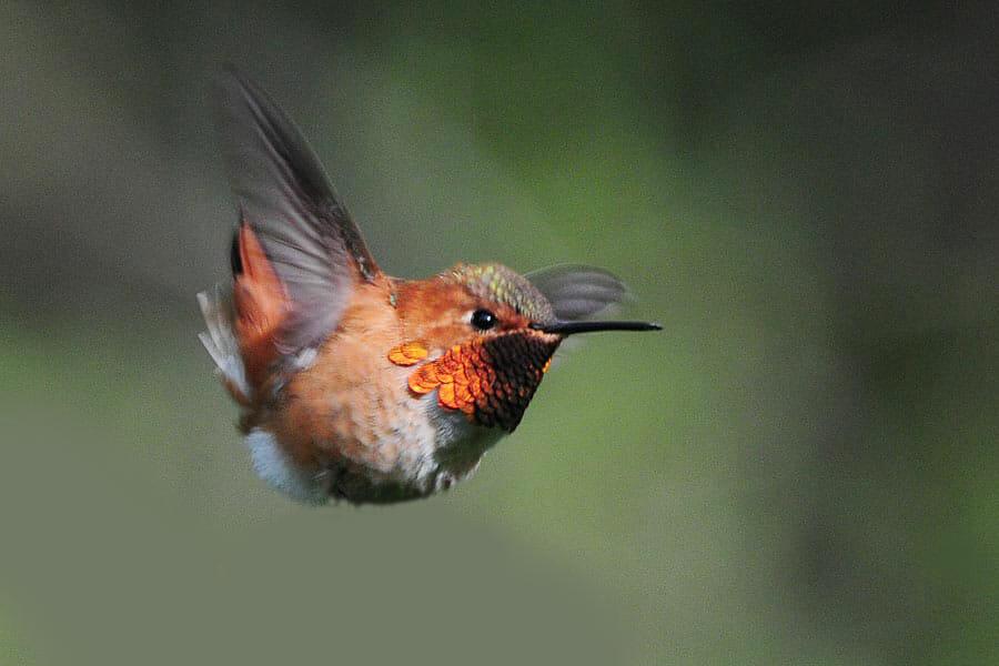 Rufous hummingbird © Mike Yip