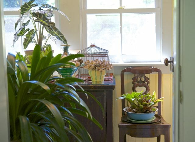 Bromeliads, clivia and elephant ear in my mudroom for winter.