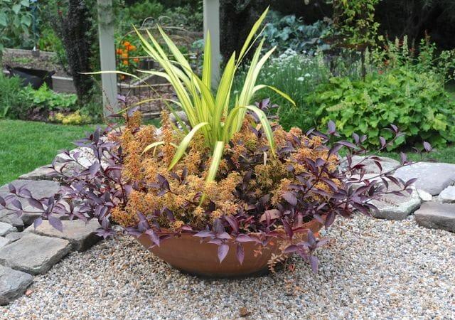 Phormium, coleus and Alternanthera in big bowl on my terrace