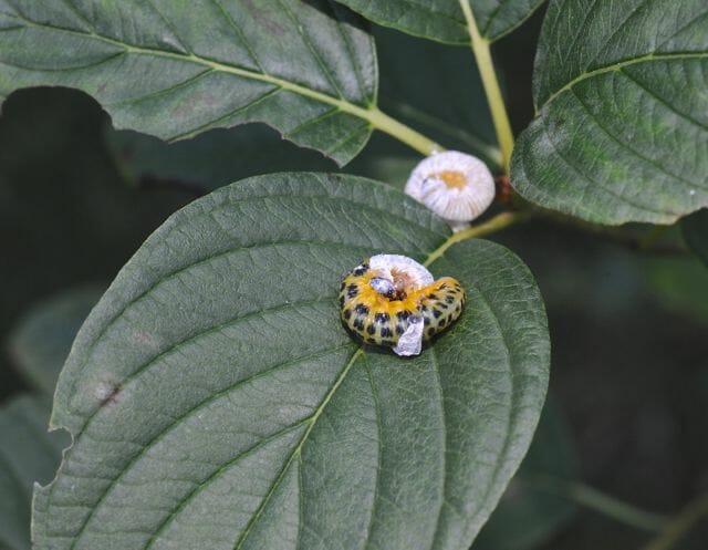 Dogwood sawfly, Macremphytus testaceus, between 2d and 3d instar.