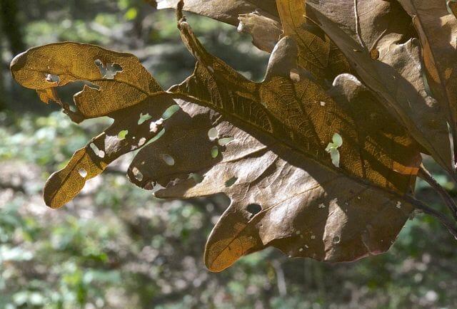oak shothole leafminer, Japanagromyza viridula
