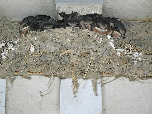 Barn swallow babies (photo by Rebecca B).