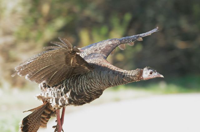 Female Wild Turkey takes flight © Tom Grey