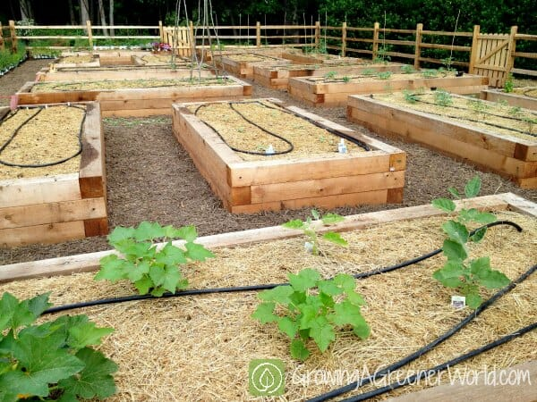 A Raised Bed Garden Survives 39 Killer Compost 39 A Way To Garden