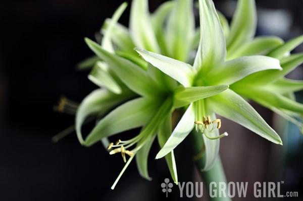 Evergree Amaryllis, photo by Gayla Trail