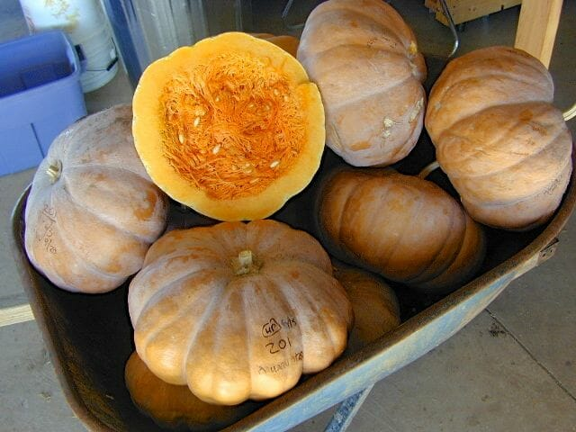Magdalena Big Cheese squash from Native Seeds/SEARCH