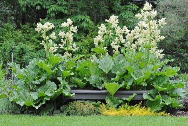 Margaret Roach rhubarb