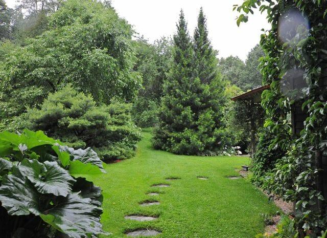 Japanes umbrella pine Margaret Roach gardenlia