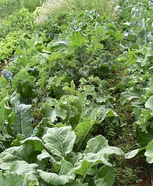 Kale Coalition kales at Adaptive Seeds