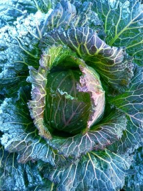 January King cabbage from Uprising Seeds