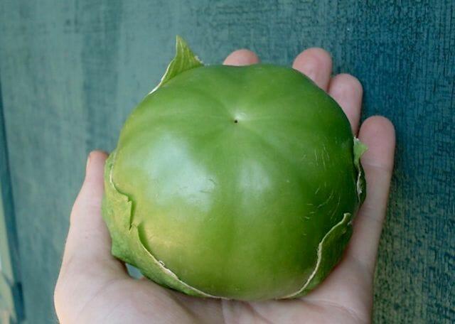 Plaza Latina giant tomatillo from Adaptive Seeds
