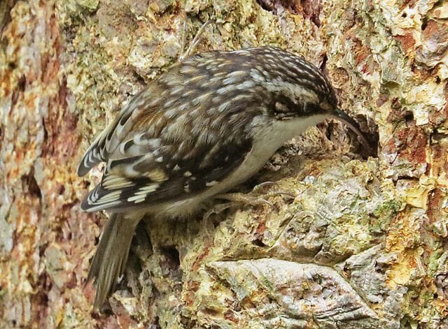 Brown creeper by Mike Hamilton