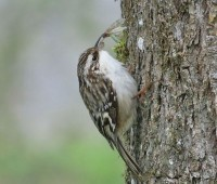 Brown creeper with insect, photo by Mike Hamilton