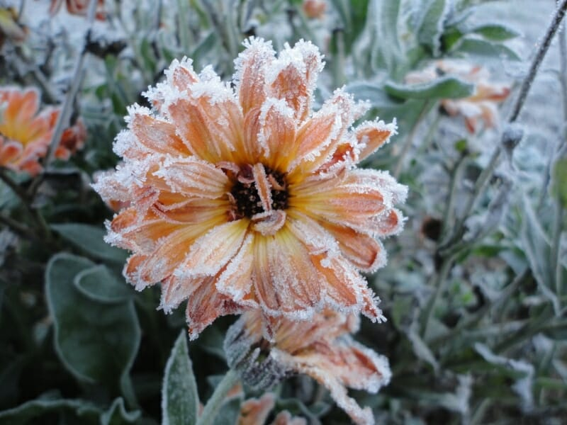Flashback calendula after frost, at Seed Library